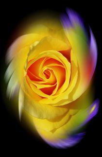 Blütenträume 15 Rose by Walter Zettl