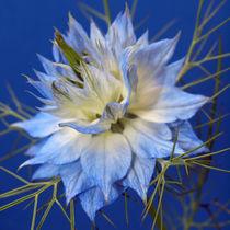 Blüte der Jungfer im Grünen, makro, nigella damascena, blue blossom of love in a mist von Dagmar Laimgruber