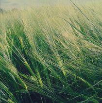 corn von blueandyou-photography