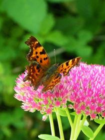 Schmetterlingsinvasion by Norbert Hergl