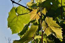 Sonne liebt Wein von leddermann