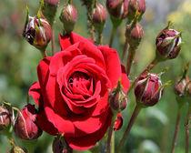 One Rose for you von Michael Naegele