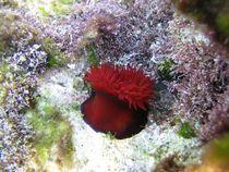 Sea anemone (Actinia equina) von Christopher Jöst