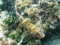 Long-spined Scorpionfish (Taurulus bubalis) von Christopher Jöst