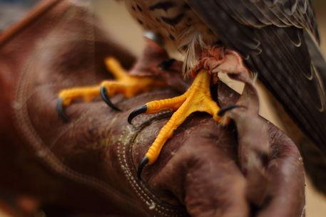 Greifvogelkralle
