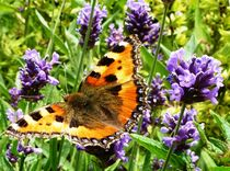 Lavender liking Small Tortoiseshell by Juergen Seidt