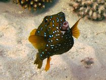Female bluetail trunkfish (Ostracion cyanurus) by Christopher Jöst