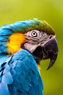 A-captive-blue-and-yellow-macaw-ara-ararauna-1d44884-5