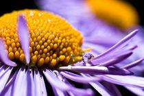 Raindrop On Purple Flower von Priya Ghose