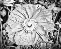 Iceland Poppy In Black And White by Priya Ghose