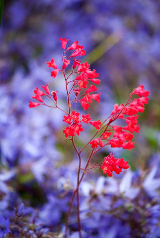 Violett-trifft-purpurrot