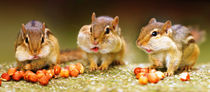 Chipmunks by Stefan Mosert