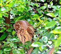 Sleepy Little Owl  von Rick Todaro