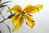 The Yellow Lily von Marc Garrido Clotet