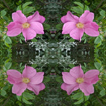 Dog roses in reflect by Robert Gipson