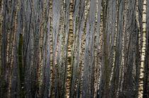 'Birkenwald' by Rolf Möller