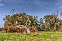 alter Baum von Rainer Schmitz