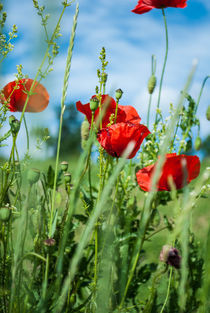 Mohn by Andreas Rohrer