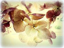 hortensien von hedy beith