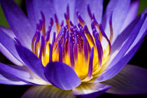 Tropical Water Lily Inner Glow von Priya Ghose