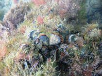 Colony of Blue mussels (Mytilus edulis) von Christopher Jöst