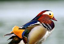 mandarin duck portrait - mandarinente portrait von mateart