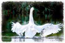 Swan in Action by Wolfgang Pfensig