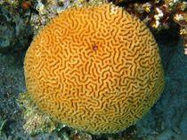 Brain coral (platygyra sinensis) von Christopher Jöst