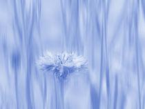 kornblumenhellblau by Franziska Rullert
