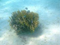 Group of Blacktail damselfish (Dascyllus melanurus) in a coral stock (Stylophora subseriata) by Christopher Jöst