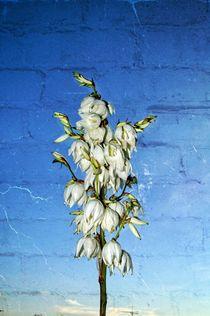 Yucca Palm flower by Helmut Schneller