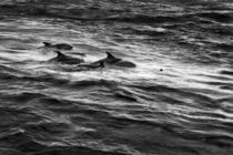Dolphins Swimming in Gloucester, Massachusetts by Matilde Simas