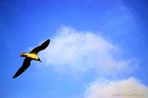 Gull12c