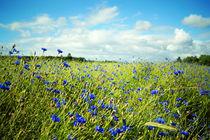 Kornblumen, cornflowers, bleuets von Sabine Radtke