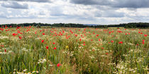Panoramic Poppies von David Tinsley