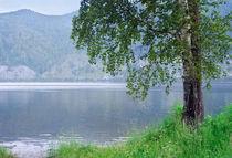Birch on the river bank  by larisa-koshkina