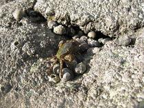 Neozoan crab on the island of Juist von Christopher Jöst