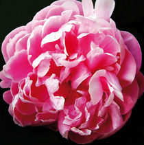 Peonie by m-r-concepts