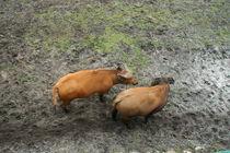 buffalos#2 by Katia Terpigoreva