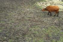 buffalo#3 by Katia Terpigoreva