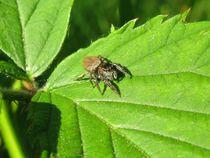Female Jumping Spider (Evarcha falcata) von Christopher Jöst