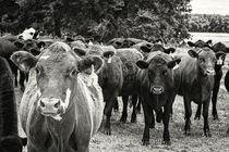 Tennessee Cattle by Jon Woodhams