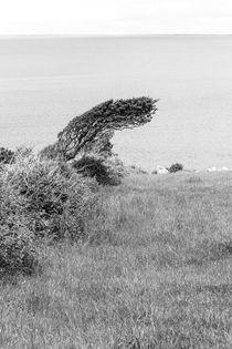Windgebogener Baum am Meer   Irland by andreas-hendrik