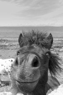 Rotzfreches Pony   Irland von andreas-hendrik