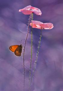 Two Pink Poppies von Jarek Blaminsky