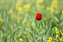 One Red Poppy  von Vicki Field