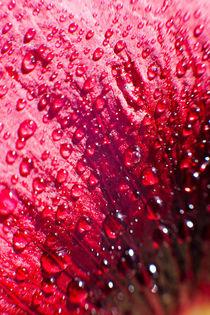 Drops of dew water on a flower petal by Tatyana Nazarenko