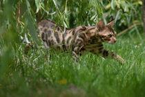 Bengal Kitten / 13 von Heidi Bollich