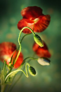 Red poppies  von Jarek Blaminsky