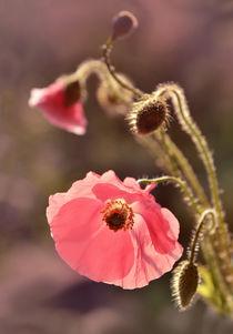 Pink pastel poppy von Jarek Blaminsky